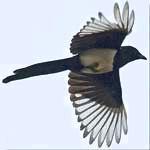 symbolism of magpie