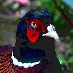 symbolism of pheasant