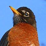 symbolism of a robin