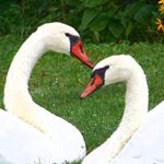 symbolism of swan