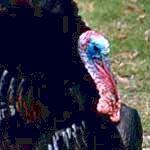 animal symbolism of turkey