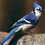 animal symbolism of the blue jay