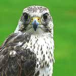 symbolism of falcon