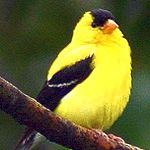 bird meaning of finch